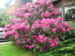 The rhododendren from heaven, eh?