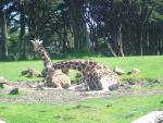 giraffes just loungin
