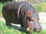 WHOA BIG HIPPO