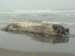 Dead Whale washed ashore on Ocean Beach 7/21/03